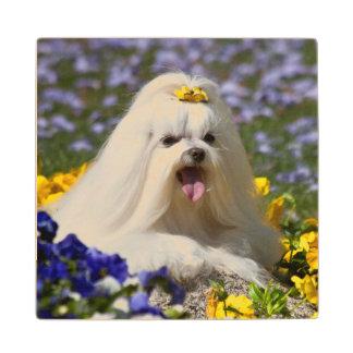 USA, California. Maltese Lying In Flowers Wood Coaster
