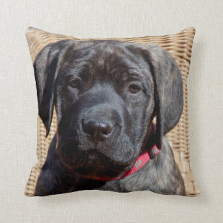 USA, California. Mastiff puppy looking at you. Cushion