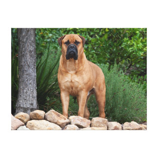 USA, California. Mastiff Standing In A Garden Stretched Canvas Prints