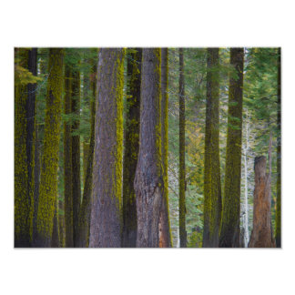 USA, California. Moss Covered Tree Trunks Poster