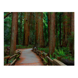 USA, California. Path Among Redwoods In Muir Postcard