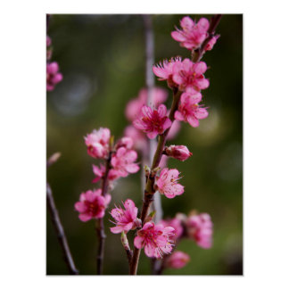USA, California. Pink Blooms On A Tree Posters