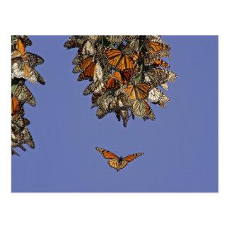 USA, California, Pismo Beach. Monarch Postcard