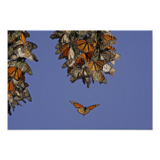 USA, California, Pismo Beach. Monarch Poster