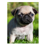 USA, California. Pug Puppy Looking At You Postcard