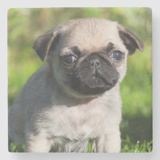USA, California. Pug Puppy Looking At You Stone Coaster