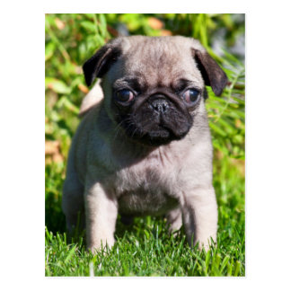 USA, California. Pug Puppy Standing In Grass Postcard