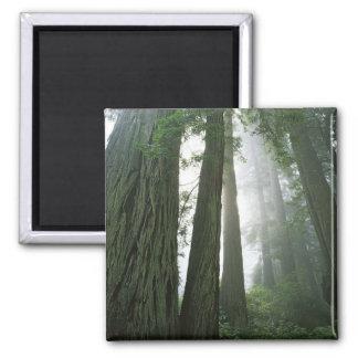 USA, California, Redwood National Park, 2 Magnet