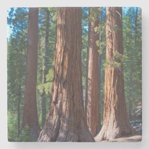 USA, California. Redwood Tree Trunks, Mariposa Stone Coaster