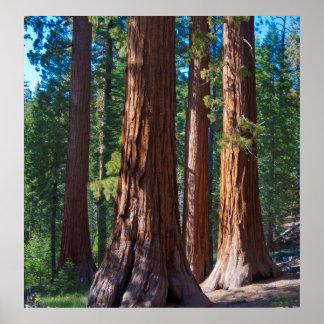 USA, California. Redwood Tree Trunks, Mariposa Print