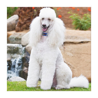 USA, California. Standard Poodle Sitting Gallery Wrap Canvas