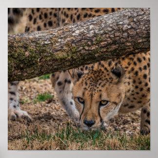 USA, Cincinnati, Ohio. Cheetah (captive) Poster