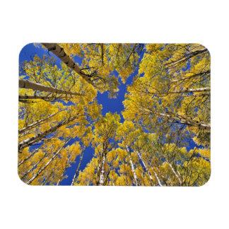 USA, Colorado, Aspen area. Aspen forest in fall Rectangular Photo Magnet