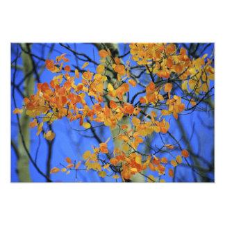 USA, Colorado. Aspen leaves that have taken Photo Print