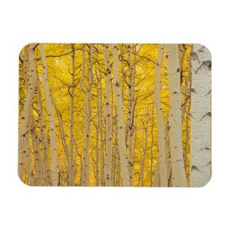 USA, Colorado. Aspens In Gunnison National Rectangular Photo Magnet