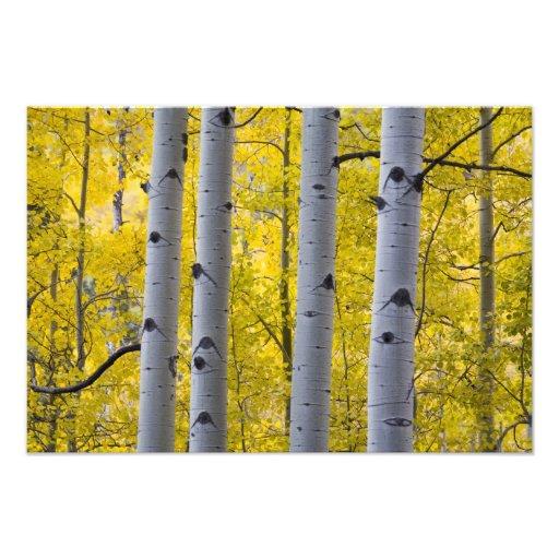 USA, Colorado, Autumn Aspen Stand Near Yankee Photo Print