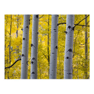 USA, Colorado, Autumn Aspen Stand Near Yankee Postcard