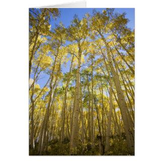 USA, Colorado, Autumn Aspens Along the Last Card