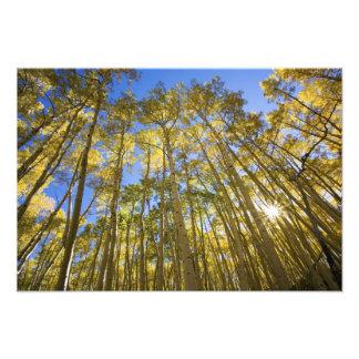USA, Colorado, Autumn Aspens Along the Last Photo Art
