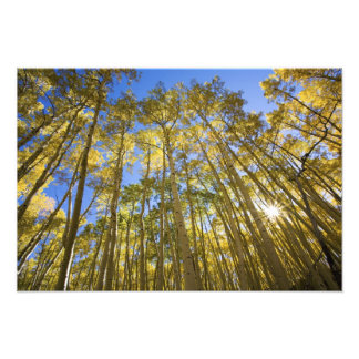 USA, Colorado, Autumn Aspens Along the Last Art Photo