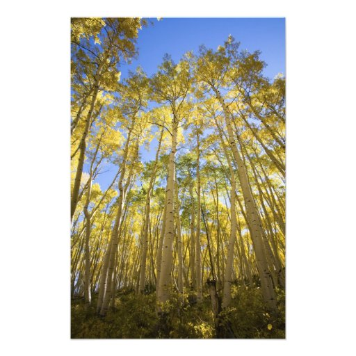 USA, Colorado, Autumn Aspens Along the Last Photograph
