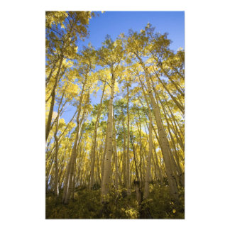 USA, Colorado, Autumn Aspens Along the Last Photographic Print