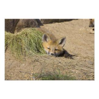 USA, Colorado, Breckenridge. Alert red fox Photo