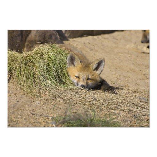 USA, Colorado, Breckenridge. Alert red fox Photo Print
