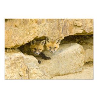 USA, Colorado, Breckenridge. Curious red fox Art Photo