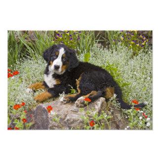 USA Colorado Breckenridge Female Bernese Photo
