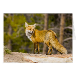 USA, Colorado, Breckenridge. Portrait of red fox Card