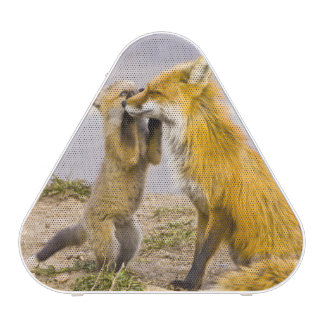 USA, Colorado, Breckenridge. Red fox mother 2