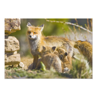 USA, Colorado, Breckenridge. Red fox mother 2 Photo Print