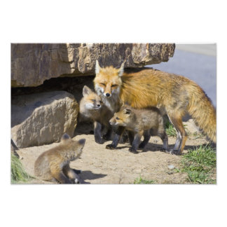 USA, Colorado, Breckenridge. Red fox mother 4 Photo Art