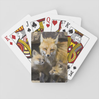 USA, Colorado, Breckenridge. Red fox mother 4 Playing Cards