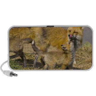 USA, Colorado, Breckenridge. Red fox mother Laptop Speakers