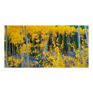 USA, Colorado. Bright Yellow Aspens In Rockies 2 Poster