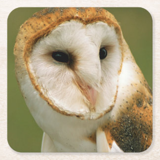 USA, Colorado, Broomfield. Barn owl Square Paper Coaster