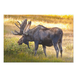 USA, Colorado, Cameron Pass. Bull moose with Art Photo