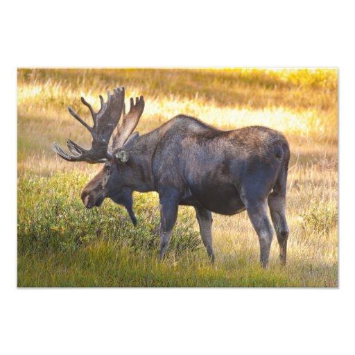 USA, Colorado, Cameron Pass. Bull moose with Art Photo