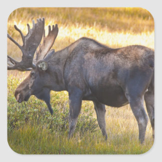 USA, Colorado, Cameron Pass. Bull moose with Square Sticker