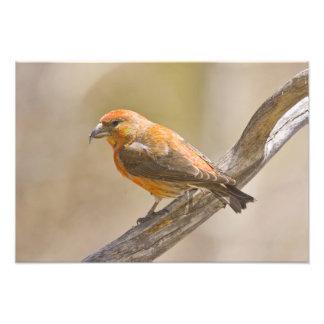 USA, Colorado, Frisco. Close-up of male red Photo