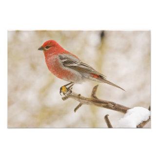 USA, Colorado, Frisco. Male pine grosbeak Photographic Print