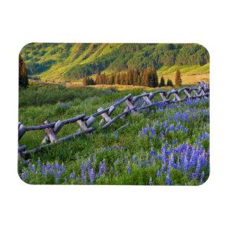 USA, Colorado. Lupines and split rail fence Rectangular Photo Magnet