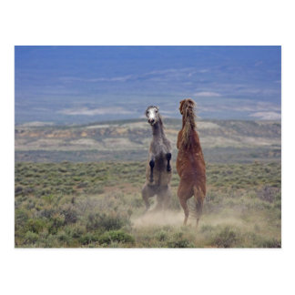 USA, Colorado, Moffat County. Two wild horses Postcard