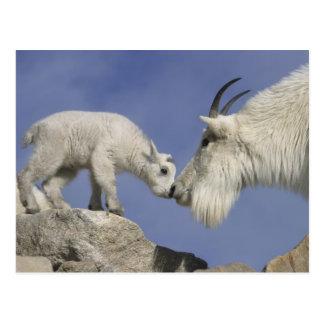 USA, Colorado, Mount Evans. Mountain goat mother Postcard