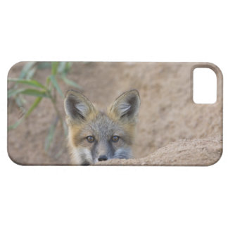 USA, Colorado, Pike National Forest. Shy red fox iPhone 5 Cases