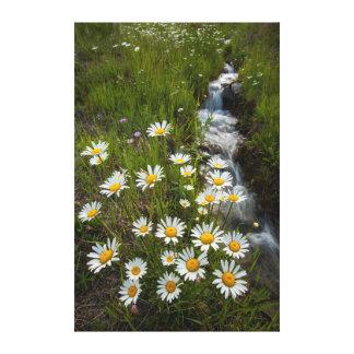 USA, Colorado, San Juan Mountains. Daisies Canvas Print