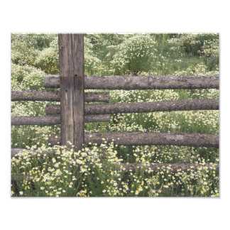 USA, Colorado, Wild Chamomile around log fence Photographic Print