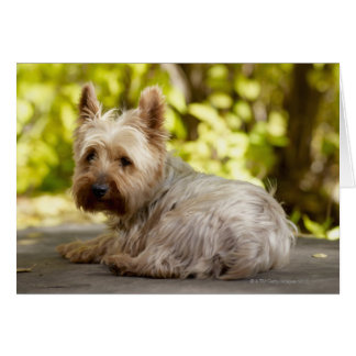 USA, Colorado, Yorkshire terrier lying down and Card